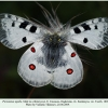 parnassius apollo male2